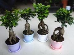 绿植盆栽-小榕树-清之源花卉