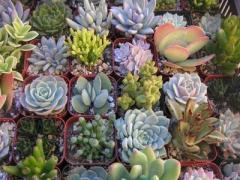 多肉植物-冬美人-清之源花卉