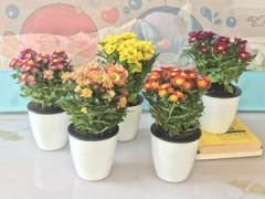花卉-瓜叶菊-清之源花卉