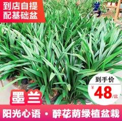 绿植盆栽-墨兰-醉花荫园艺中心