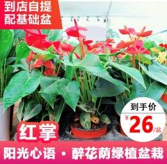 绿植盆栽-红掌-醉花荫园艺中心