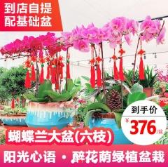 花卉-蝴蝶兰大盆-醉花荫园艺中心
